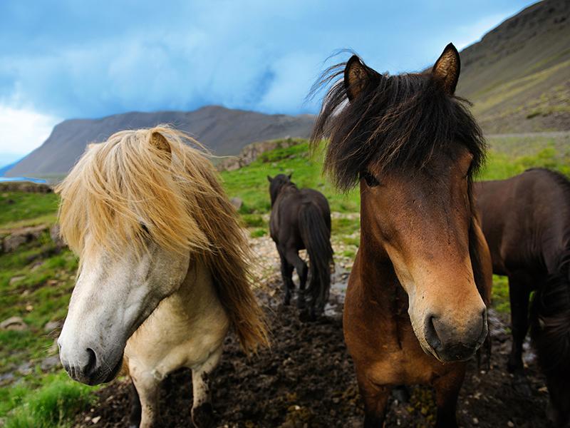 BILFERIE PÅ ISLAND_Komplett bilferie rundt Island med Din Islandsreise_Flotte Islandshester © Din Islandsreise