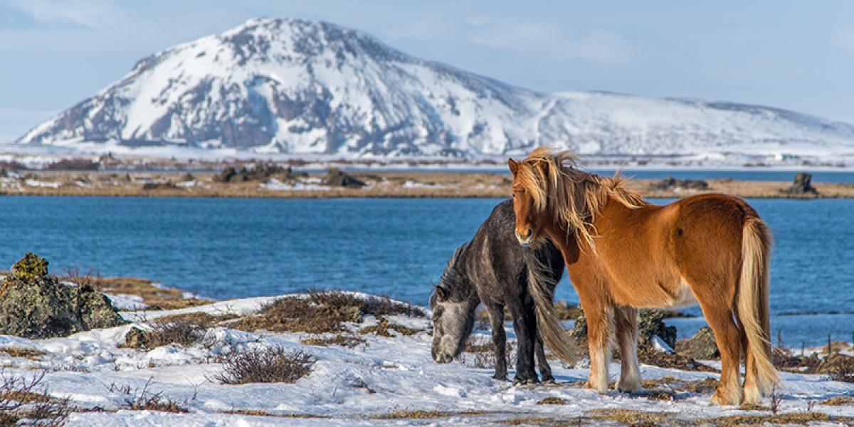 GUIDEDE TURER PÅ ISLAND_Guidede dagsturer fra Reykjavik_Vinter_Flotte Islandshester © Din Islandsreise