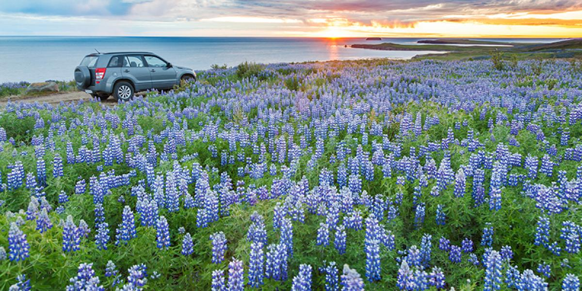 WEEKEND_Reykjavik og Den Gylne Sirkel med leiebil_Lupiner på Island © Din Islandsreise
